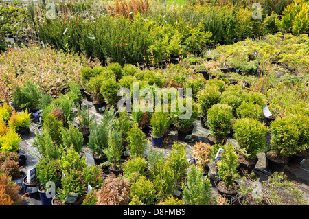 Conifers and other shrubs in a garden centre, England, UK - Stock Photo