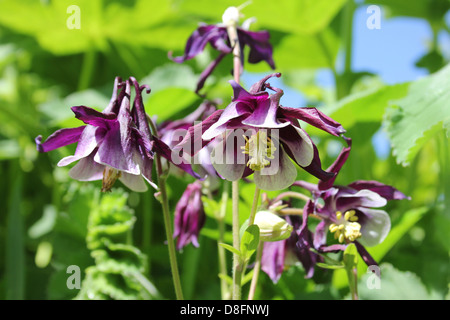 Aquilegia or Columbine - Stock Photo