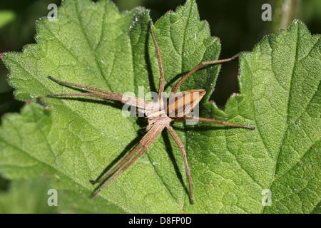 Nursery-web Spider Pisaura mirabilis - Stock Photo