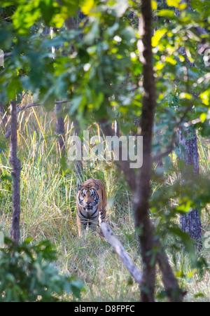 Royal Bengal Tiger (Panthera tigris tigris) in Sal forest, Bardia National Park, Nepal - Stock Photo