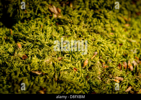 Moss growing on forest floor in a Sussex woodland, UK - Stock Photo