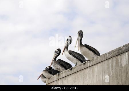 Chilean pelicans - Stock Photo