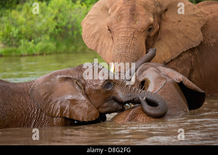 African elephant (Loxodonta africana)Mother and young calves having a swim.South Africa - Stock Photo
