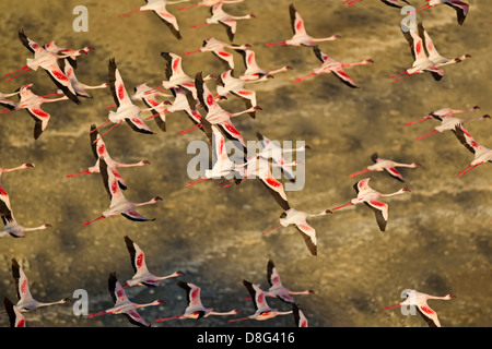 Aerial view of Lesser Flamingo (Phoenicopterus minor ) flying over Lake Logipi.Kenya - Stock Photo