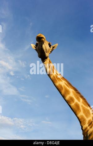 View from below of a Southern Giraffe (Giraffa camelopardalis giraffa).South Africa - Stock Photo