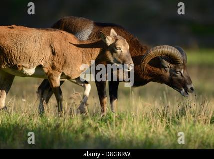 European mouflon - Stock Photo