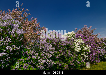 Border of Common Lilac bushes blossoming beside pink crabapple trees in flower in Spring Toronto Canada - Stock Photo