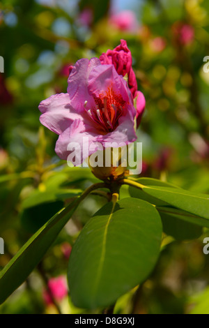 Close up of early emerging pink flower on an evergreen rhododendron bush in Spring Toronto - Stock Photo