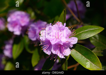 Close up of pink flowers on an evergreen rhododendron bush in Spring Toronto - Stock Photo