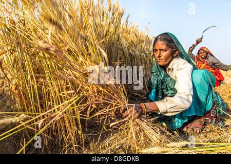 Women cutting wheat in Rajasthan, India - Stock Photo