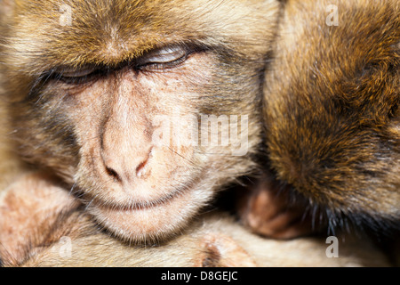 Three monkeys sharing a group hug as they snuggle and sleep together.  Barbary Macaque (Macaca sylvanus), an endangered - Stock Photo