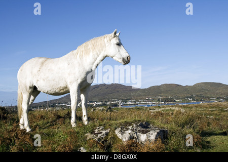 Connemara Pony, Ireland - Stock Photo