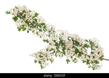 hawthorn branch with flowers on white background - Stock Photo