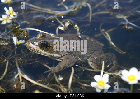 Columbia spotted frog rana luteiventris. - Stock Photo