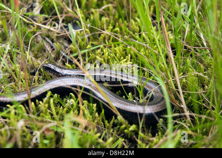 Blindworm - Stock Photo