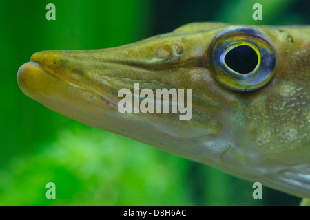 northern pike, esox lucius, germany - Stock Photo