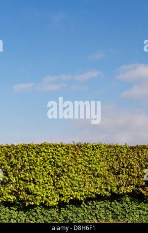 Hornbeam hedge along a Devon road - Stock Photo