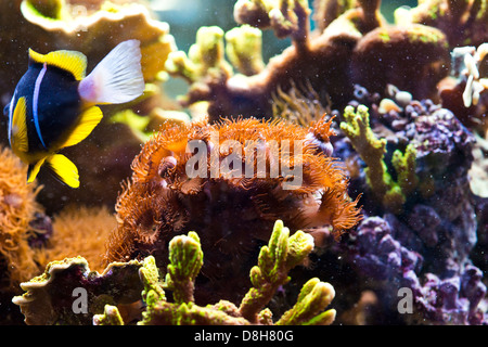Zoanthus spp - colorful coral sea - Stock Photo