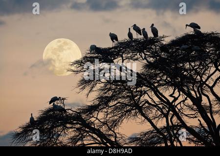 Acacia tree with white European storks at sunset.Northern Kenya - Stock Photo