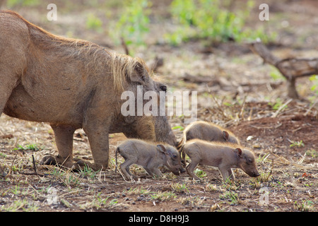 A female warthog (Phacochoerus aethiopicus) grazing with her piglets in the Kruger National Park, South Africa. - Stock Photo