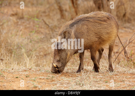 A warthog (Phacochoerus aethiopicus) grazing in the Kruger National Park, South Africa. - Stock Photo