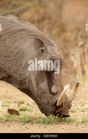 Portrait of a male warthog (Phacochoerus aethiopicus) grazing in the Kruger National Park, South Africa. - Stock Photo