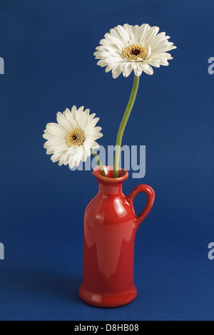 Two white gerberas in red jug on plain blue background - Stock Photo