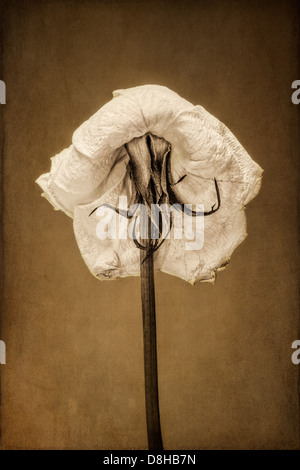 Back view of a dying white rose with texture overlay - Stock Photo