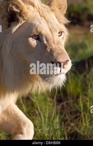 Male White Lion walking towards the camera.South Africa - Stock Photo