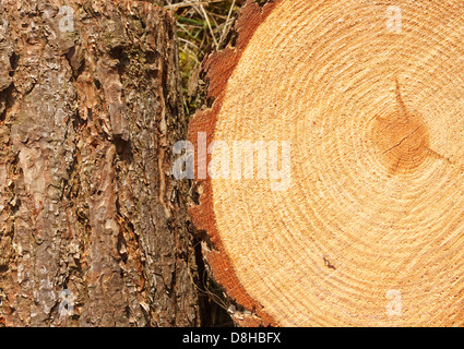 Annual rings on freshly cut pine tree with bark border good background for the timber industry - Stock Photo
