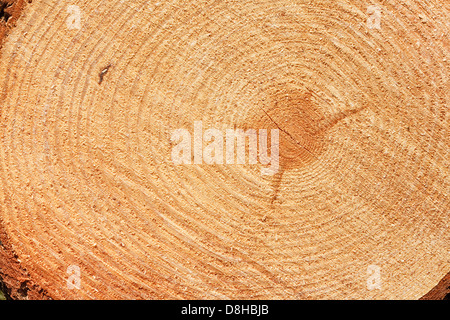 Growth rings on freshly cut fir tree good background for the timber industry - Stock Photo