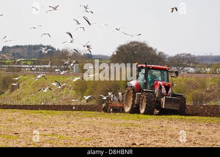 farming scene of a farmer ploughing a field ready for new crops in spring with sea birds feeding on the exposed - Stock Photo