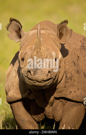Portrait of Black Rhinoceros.(Diceros bicornis)Kenya - Stock Photo