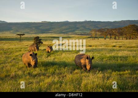 White Rhinoceros (Ceratotherium simum). Kenya - Stock Photo
