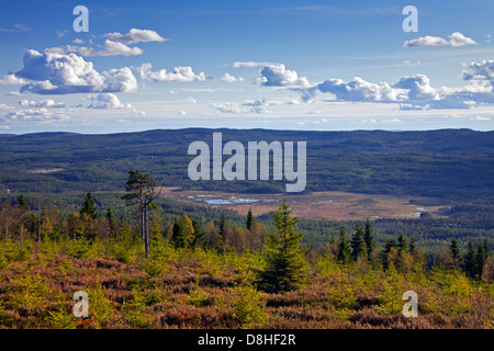 Coniferous forest with Scots Pines (Pinus sylvestris), Dalarna, Sweden - Stock Photo