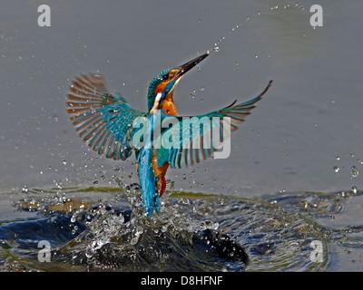 Male common kingfisher fishing - Stock Photo