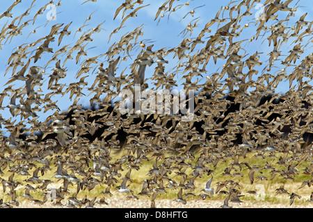 Flock of Red Knots (Calidris canutus) in flight along the North Sea coast - Stock Photo