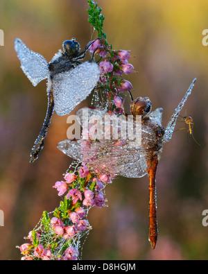 two black darter, sympetrum danae, goldenstedt, niedersachsen, germany - Stock Photo