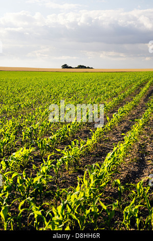 Early growth corn on the cob maize sweetcorn seedling seedlings plant plants planted in field rows drills. Oxfordshire, - Stock Photo