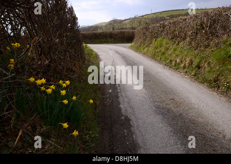 Wild Daffodils Narcissus pseudonarcissus, growing by a country lane, Wales, UK - Stock Photo