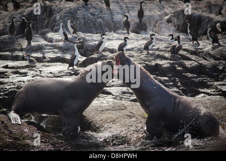 Two young male sea lions (Otaria flavescens) having a fight on the coast of one of many islands in the Beagle Channel, - Stock Photo