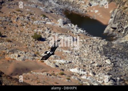Verreaux's Eagle (also called Black Eagle - Aquila verreauxii), soaring in thermals, Fish River Canyon, Southern - Stock Photo