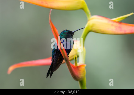Stock photo of a velvet-purple coronet sitting on a bird of paradise flower in the cloud forest, Ecuador. - Stock Photo