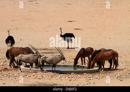 Wild horses, gemsbok (oryx), and ostriches, Garub waterhole, Namib-Naukluft National Park, near Aus, Southern Namibia, - Stock Photo
