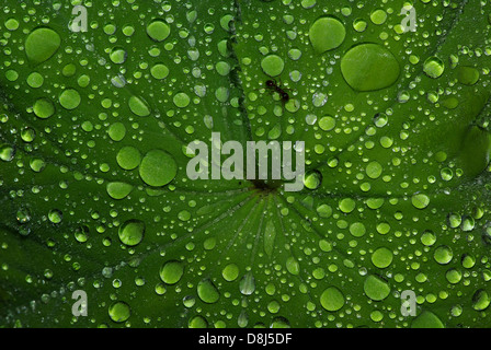 Water Drops on Ant and Lady's mantle Leaf - Stock Photo