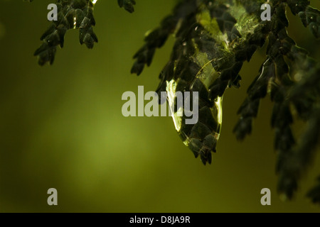 Thuja branches in drops of dew close up - Stock Photo