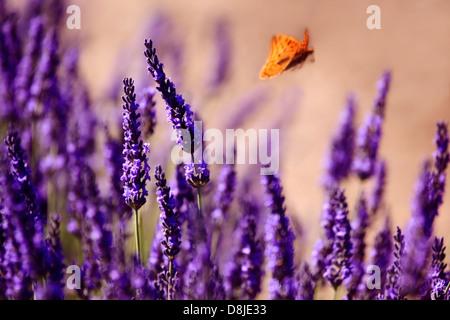 Lavender field, Valensole, Provence, France - Stock Photo