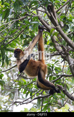 Central American Spider Monkey, Ateles geoffroyi, Costa Rica - Stock Photo