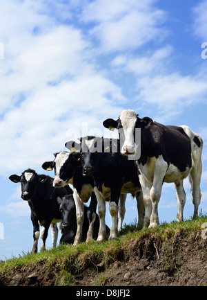 Cattle gather at a riverbank to drink on a Gloucestershire farm UK - Stock Photo