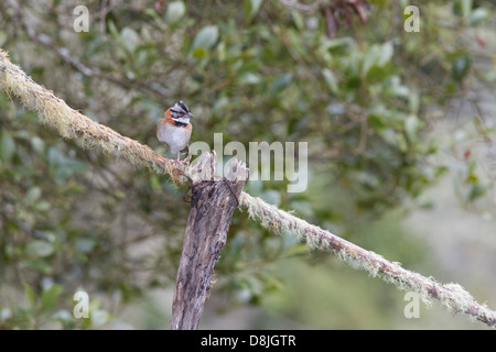 Rufous-collared Sparrow, Zonotrichia capensis, San Gerardo de Dota, Parque Nacional Los Quetzales, Costa Rica - Stock Photo